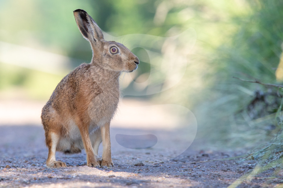Brown hare on a path