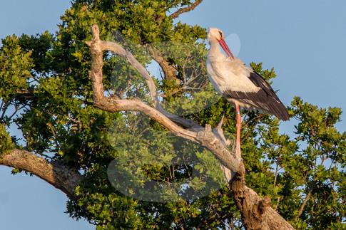 White Stork preening