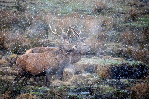 Pair of red deer during a snow storm in the Scottish Highlands