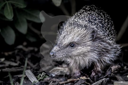 Hedgehog desaturated