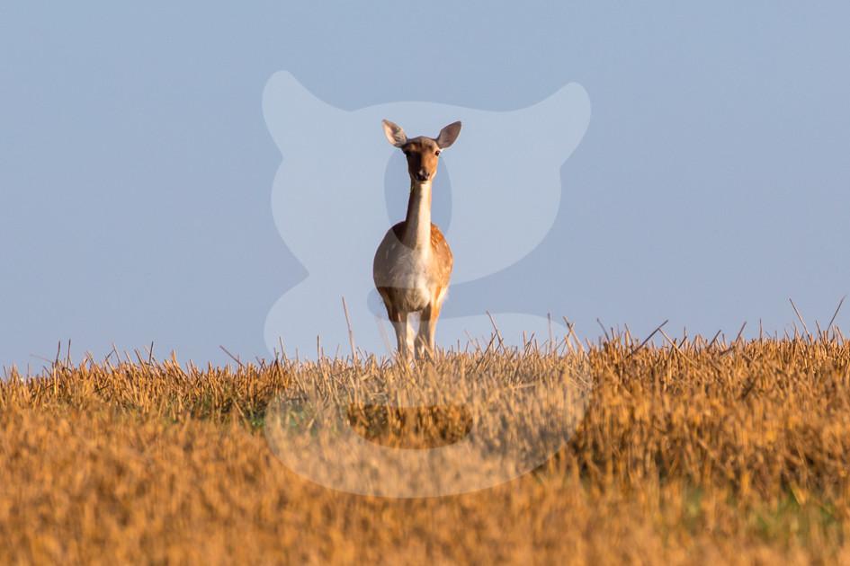 Sunny fallow deer lookout