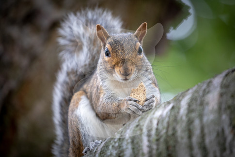 Grey squirrel eating on branch