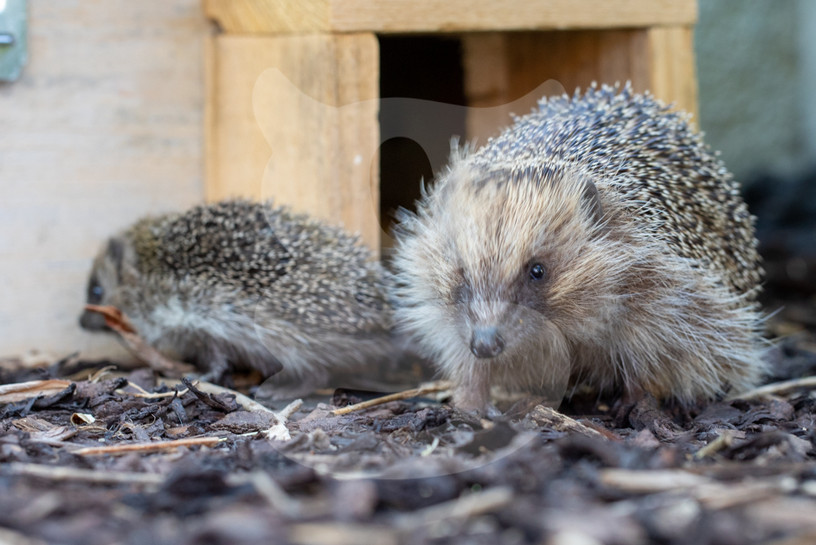 Hedgehog with hoglet