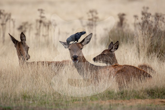 Red deer and jackdaw