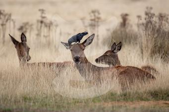 Red deer and jackdaw