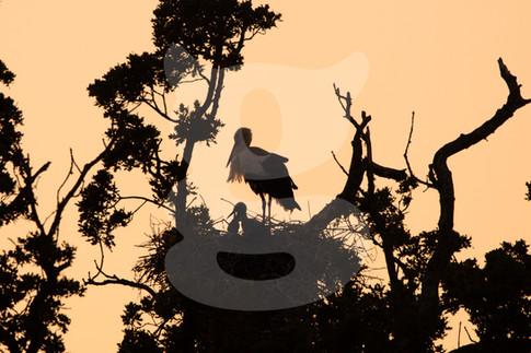White Stork nest silhouette