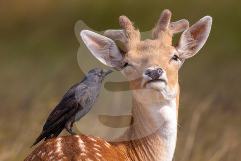 Cheek to beak, young fallow with jackdaw
