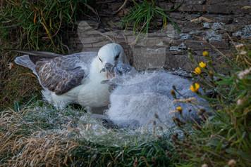 Fulmar parent feeding young