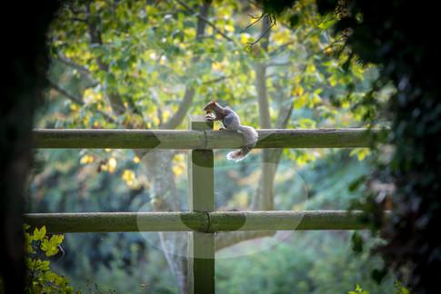 Grey squirrel framed sitting on fence