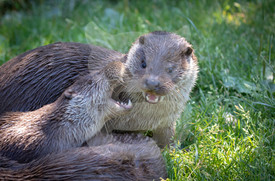 Play fighting otters