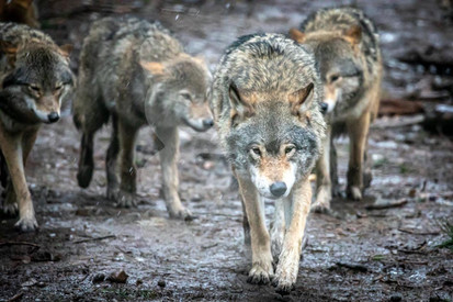 Grey wolf pack, Highland Wildlife Park, Scotland