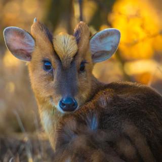 DEER - Muntjac Deer >>