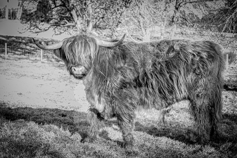 Highland cow black and white