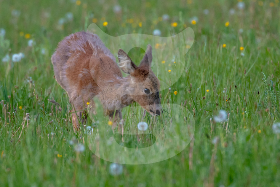 Roe deer smelling plants in a wildflower meadow