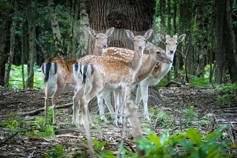 Group of fallow doe in the forest