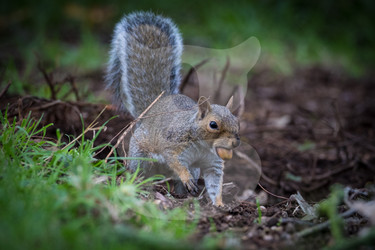 Grey squirrel storing acorn