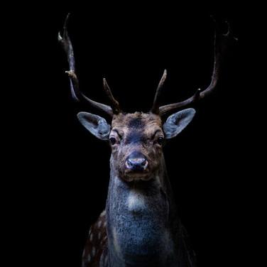 DEER - Fallow Deer >>