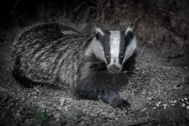 Laying Badger black and white
