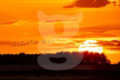 Greylag Geese Sunset
