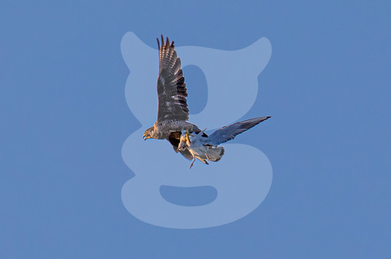 Perigrine Falcon taking a Black-Headed Gull