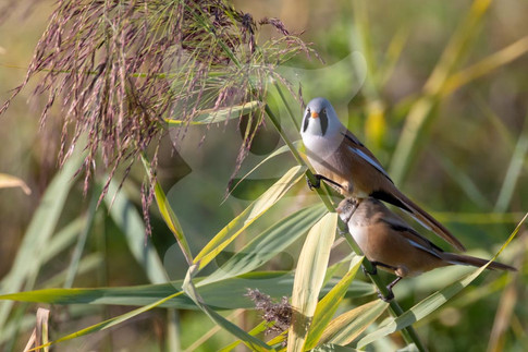 Pair of Bearded Tits, Male & Female