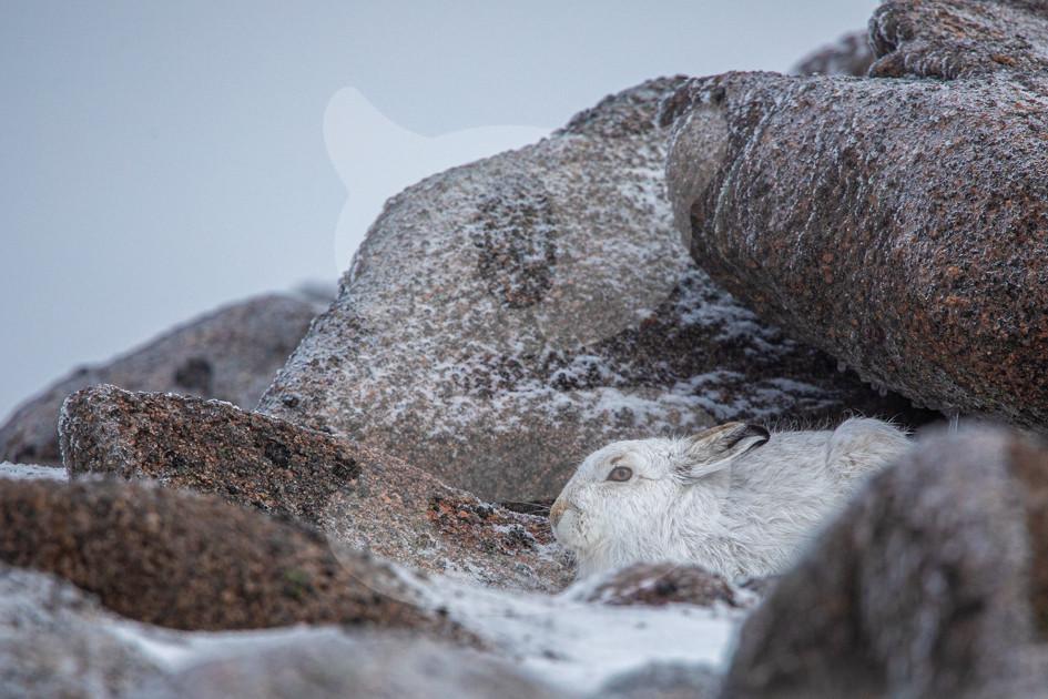 Mountain hare, Cairngorms