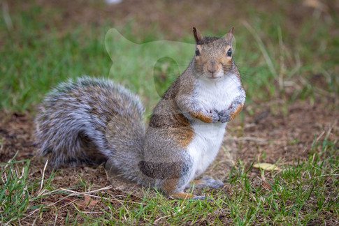 Grey squirrel standing to attention