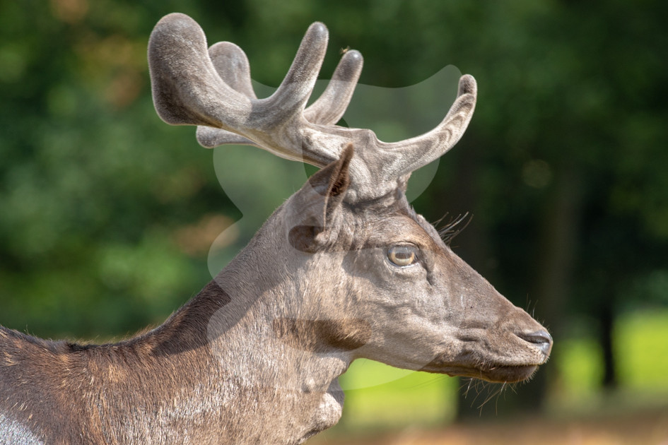 Fallow buck with velvet antlers