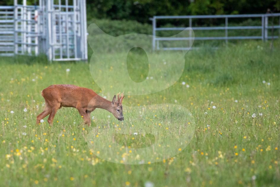 Roe deer amongst wildflowers, Chimney Meadows