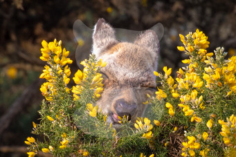 Sika deer eating gorse petals