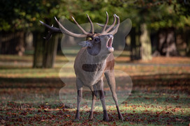 Bellowing red deer stag during the rut