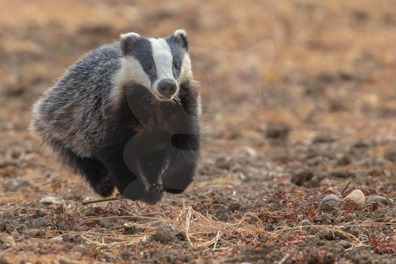 Running Badger