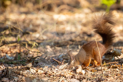 Red squirrel foraging