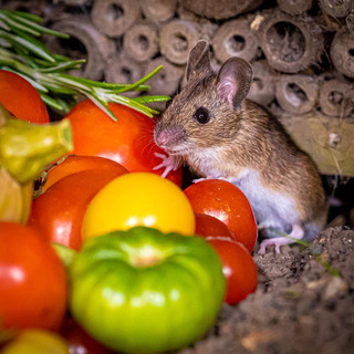 Field Mouse >>