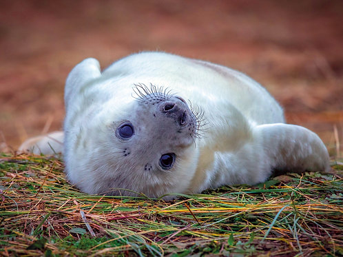 Rolling Baby Seal