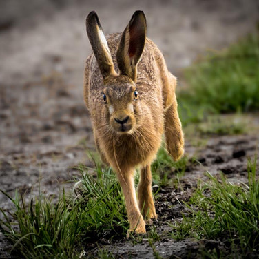 HARE - Brown Hare >>
