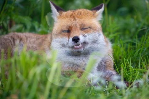 Snarly fox