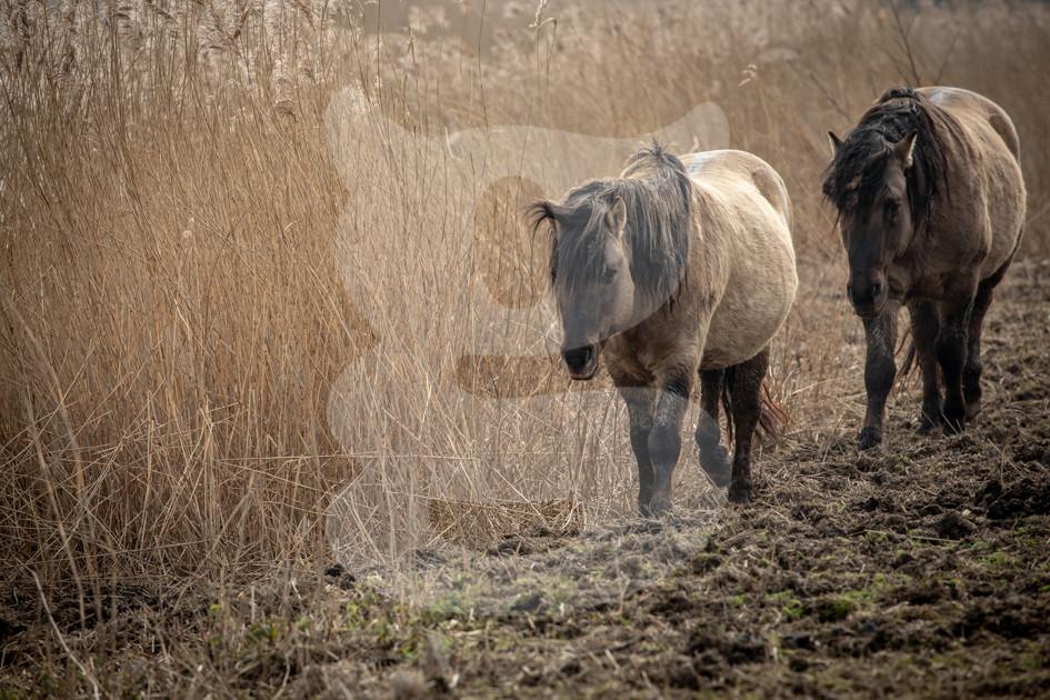 Pair of konik ponies