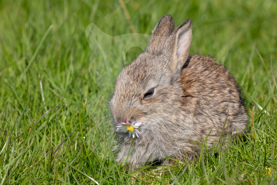 Young rabbit kit eating a daisy.