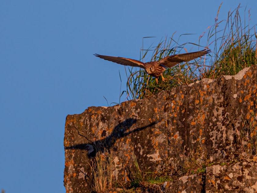 Kestrel hovering on cliff edge