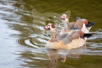 Egyption Goose