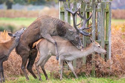 Red Deer mating