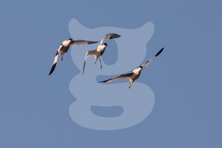Flying avocets