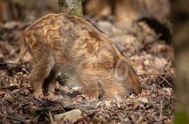 Wild boar humbug looking for food