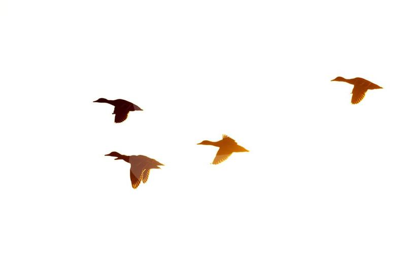 Mallards flying