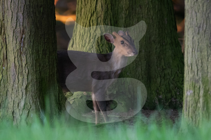 Muntjac coming out of the shadows