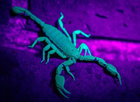 Yellow-Tailed Scorpions