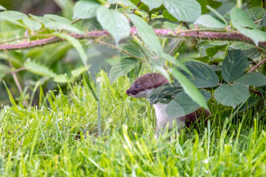 Stoat hiding under a thorn branch