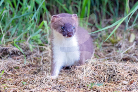Stoat being cautious