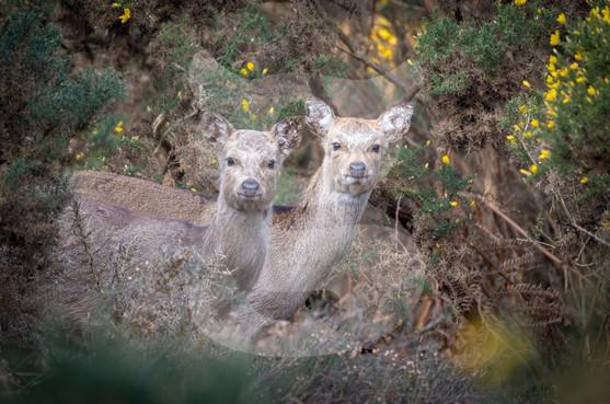 Pair of sika deer, Arne